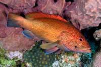 judenfisch epinephelus itajara